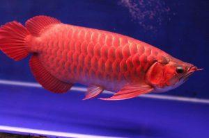 Jenis – Jenis dan Gambar Ikan Arwana Terpopuler