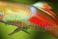Cara budidaya ikan platy swordtail
