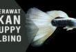 ikan guppy albino